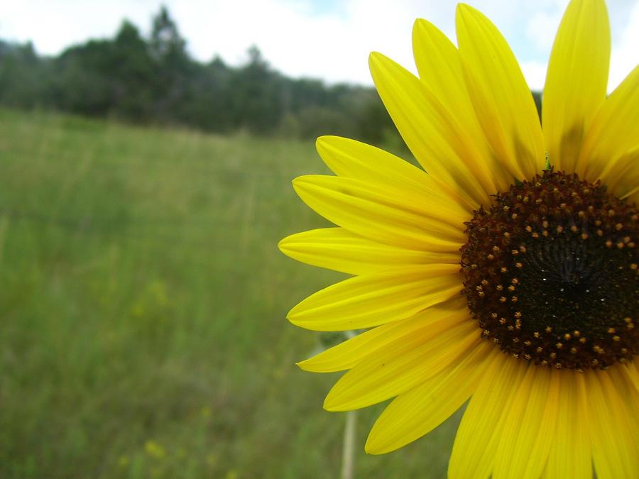Sunflower Field by piratehippy