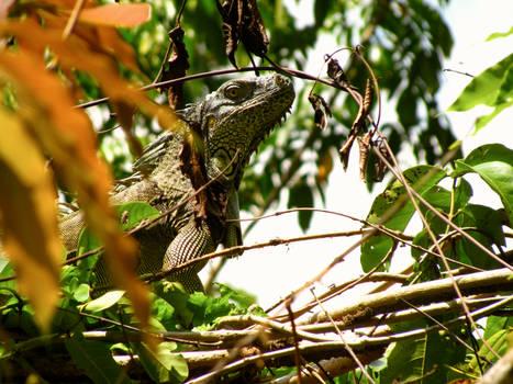 Iguanas of Xunantunich
