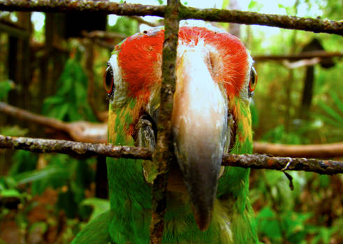 A Parrot in Cayo