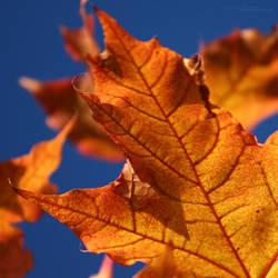 Hot Leaf by miroslav-petrinec