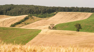 Field Grain II