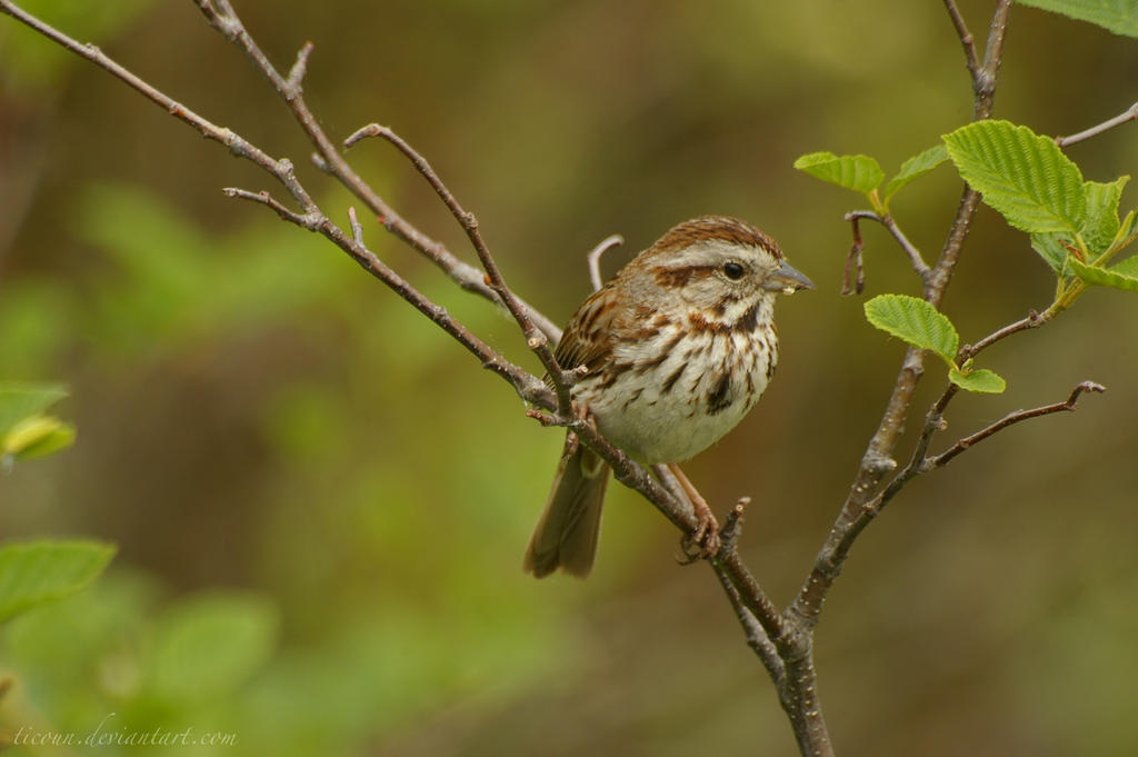 Song Sparrow by ticoun