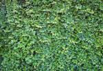 Stock: Ivy