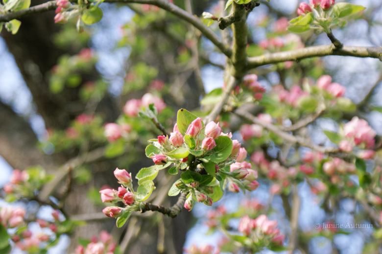 Apple Blossom by Janine-Autumn