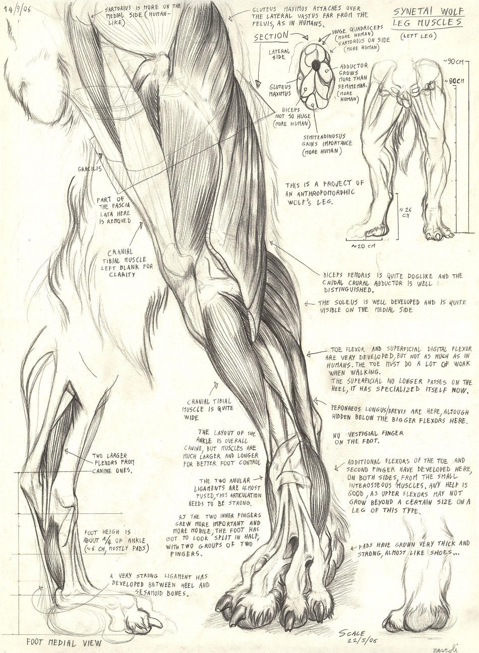 Synetai wolf leg by Alessio-Scalerandi