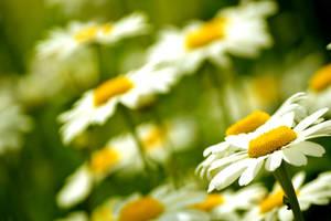 daisies by Honeycorn