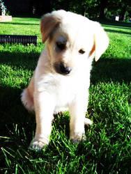Lab Puppy by xoAshleyLand