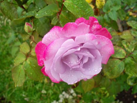 A pink wet rose