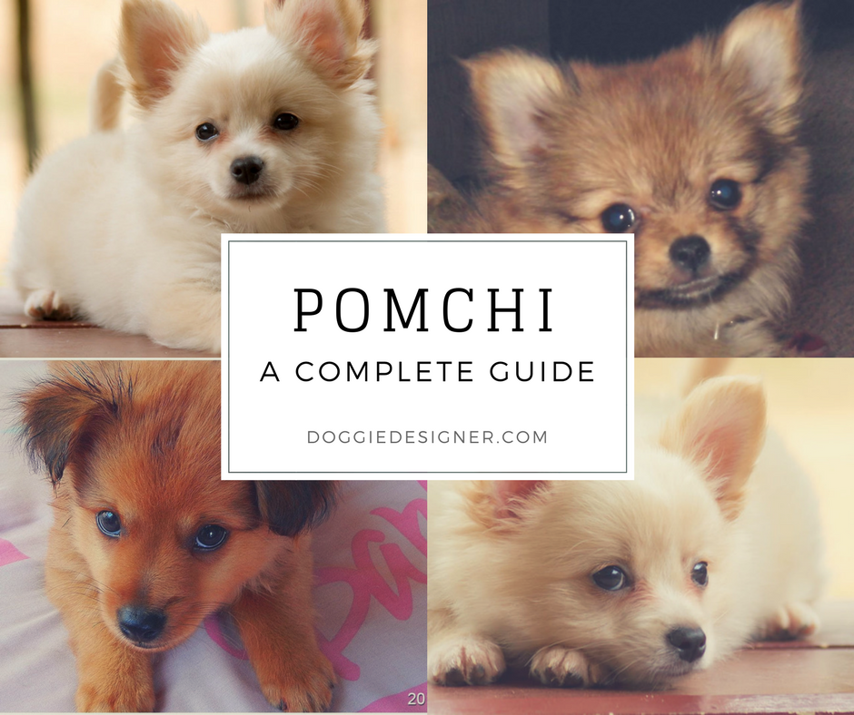 Pomchi Pomeranian Chihuahua Mix Complete Guide By Doggiedesigner On