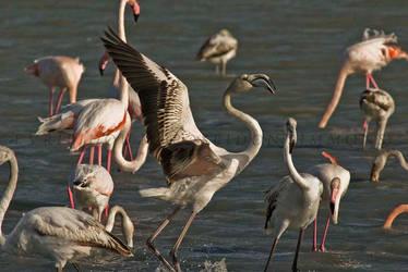 16-12-2018 flamingos at Lady's mile Cyprus by poseidonsimons-s
