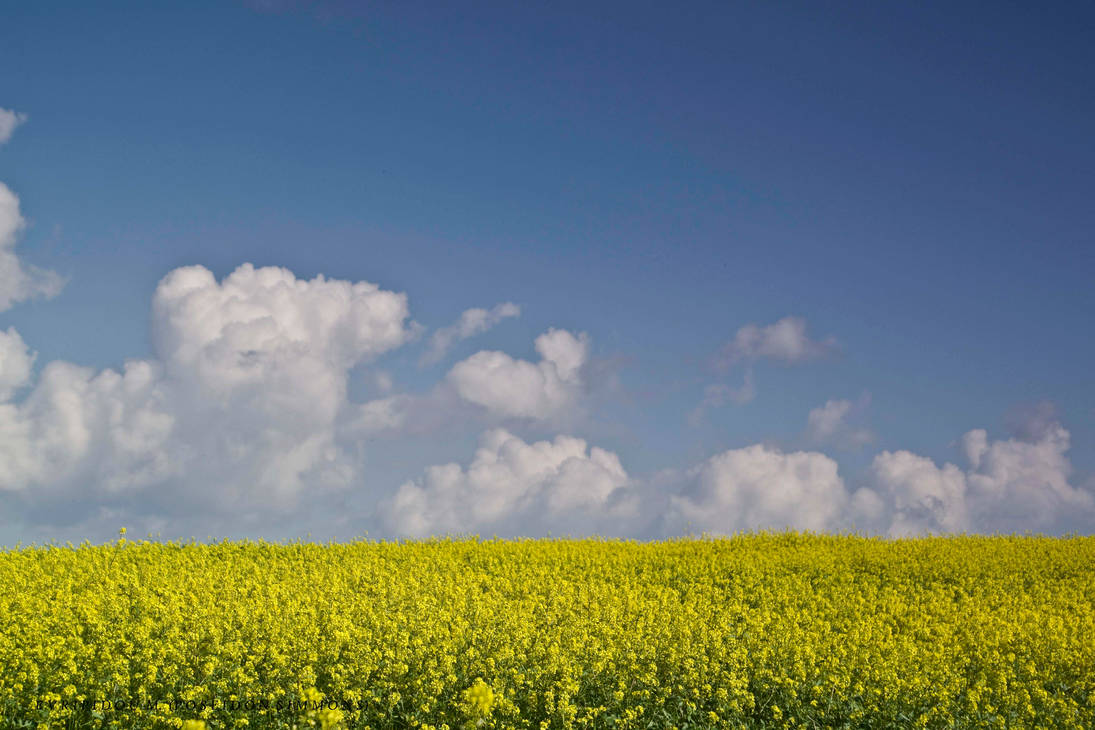 10-9-2019 wild mustard fields by poseidonsimons-s