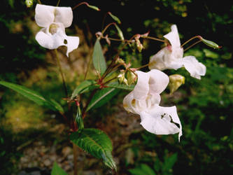 Himalayan Balsam by FilthyPerfection
