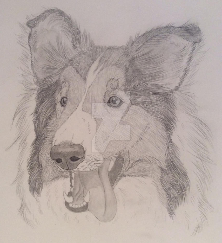 Rough Collie by Wild-As-Wolves