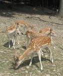 Deer on a hillside 2