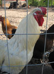Rooster and chickens 2