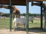 Zebra giraffe 4