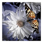 Infrared Butterfly
