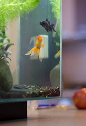 Goldfish by PixelVandalism