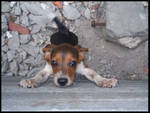 Trapped Beagle Pup