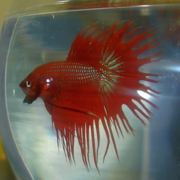 Red Crowntail Betta 2 by the-shiznite on DeviantArt