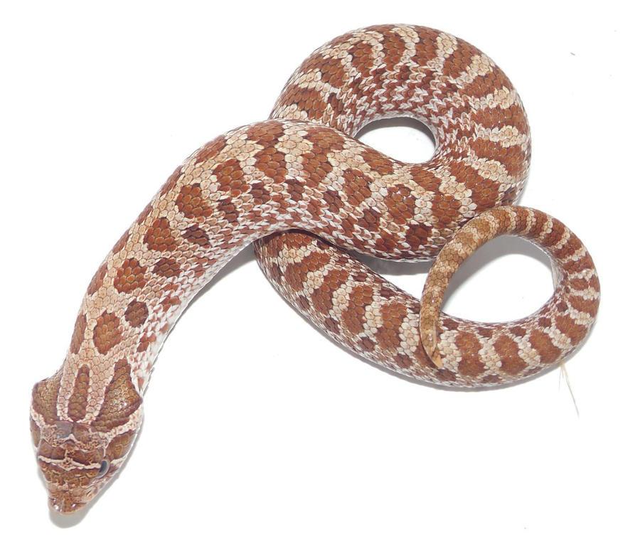 albino-hot