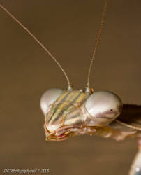 Praying Mantis 3 by nfcdakota
