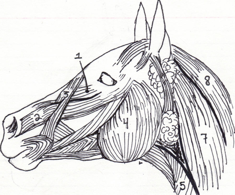 equine muscular system head by grinninginsanity on