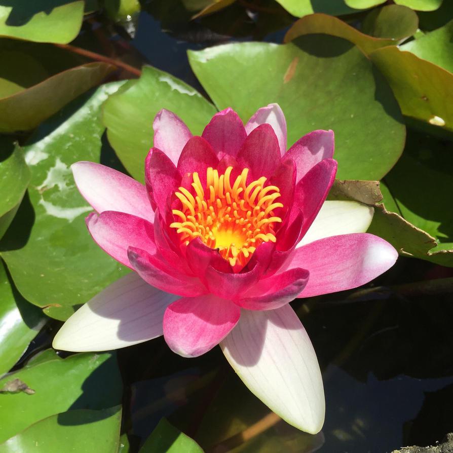 Lotus In Bloom by MaliniMoonbeam