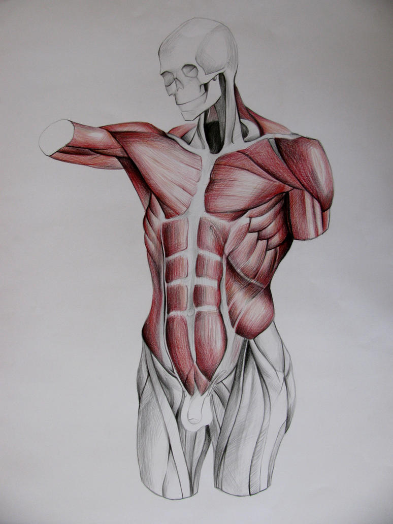Torso Muscles Study In Front By Infinitely On Deviantart