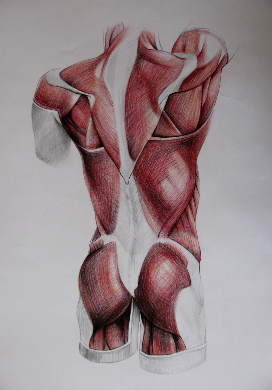 torso muscles study: back by Infinitely