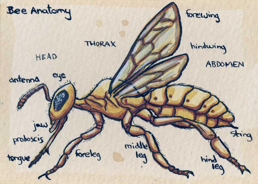 Bee Anatomy by feynico on DeviantArt