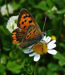 papatya ve kelebek