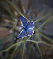 blue dream by lisans