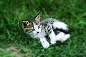 sevimli kedi by lisans