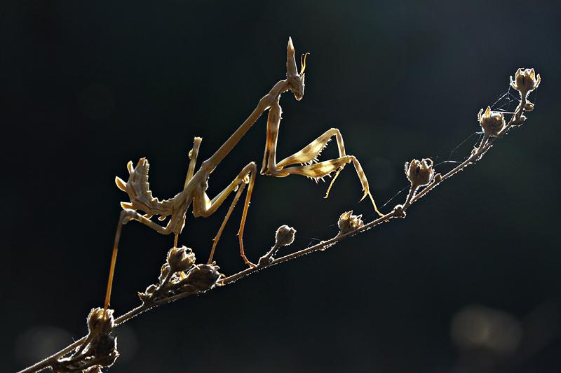 mantis by lisans