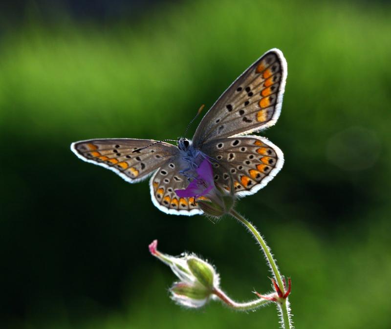 kelebek by lisans