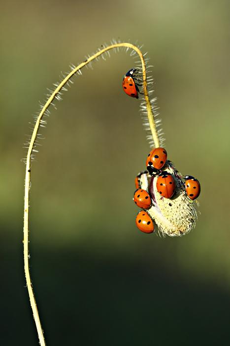 ladybug's by lisans
