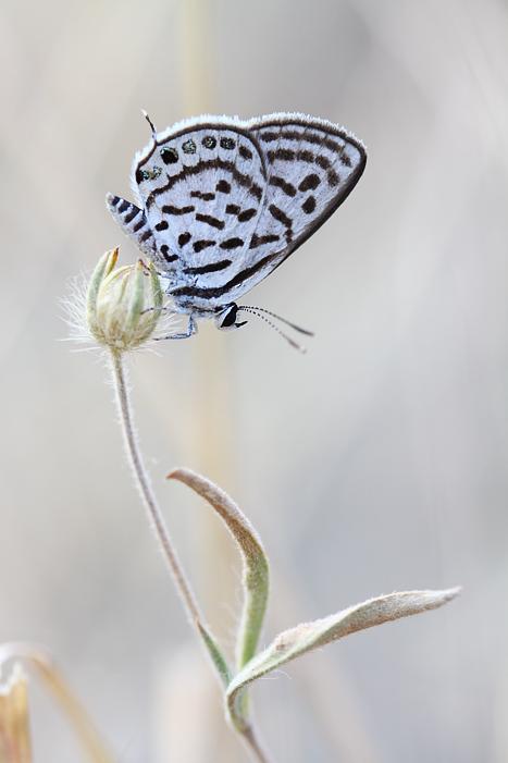 Tarucus balkanicus by lisans