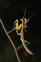mantis ve yavrusu by lisans