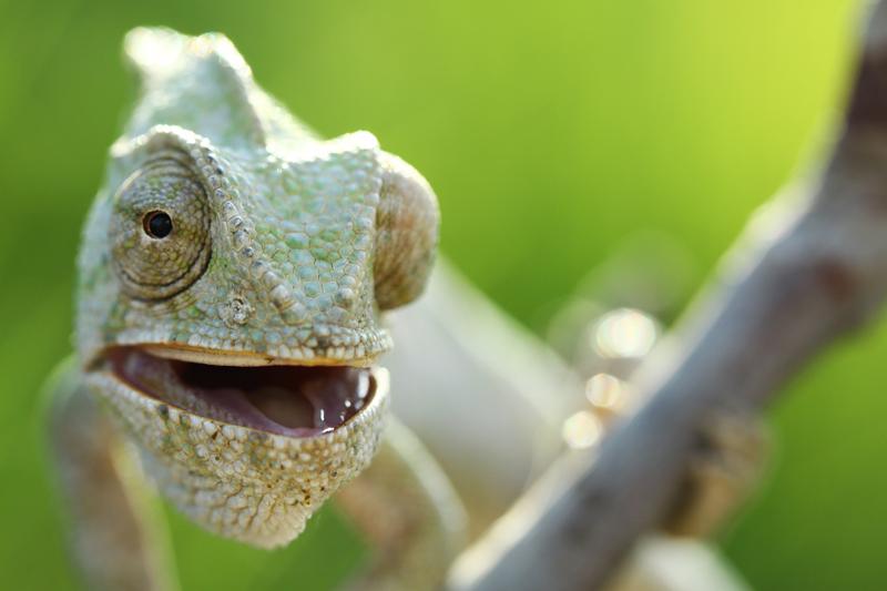 chameleon by lisans