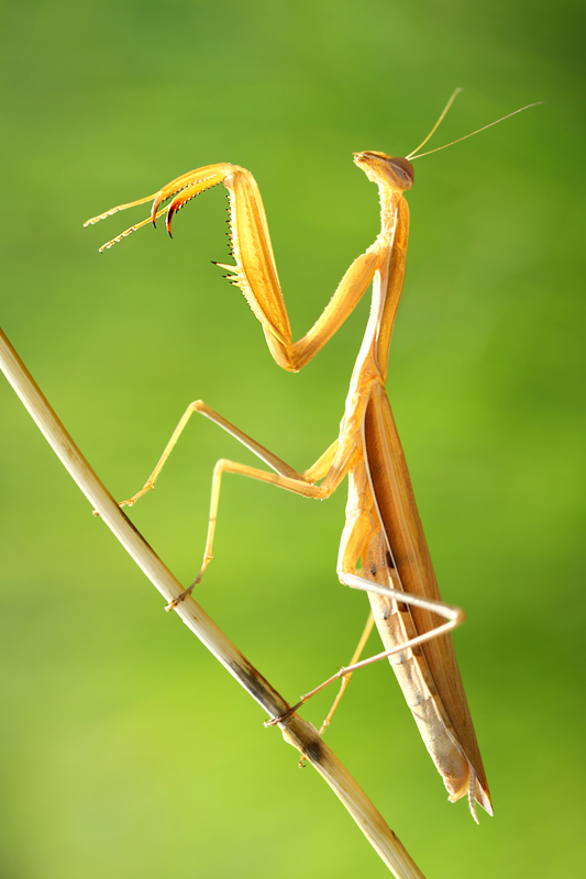 Mantis religiosa by lisans