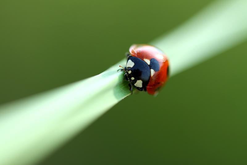 ladybug by lisans