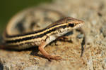 baby(Ophisops elegans)