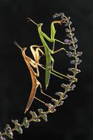 mantis religiosa by lisans