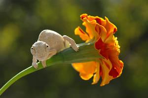 baby chameleon by lisans