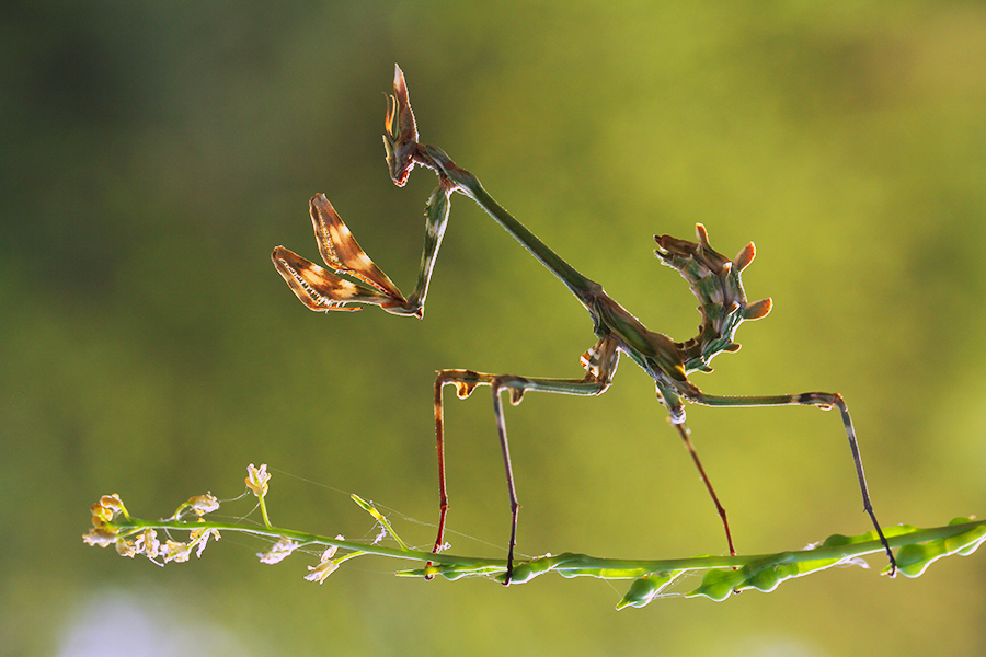 Conehead mantis by lisans