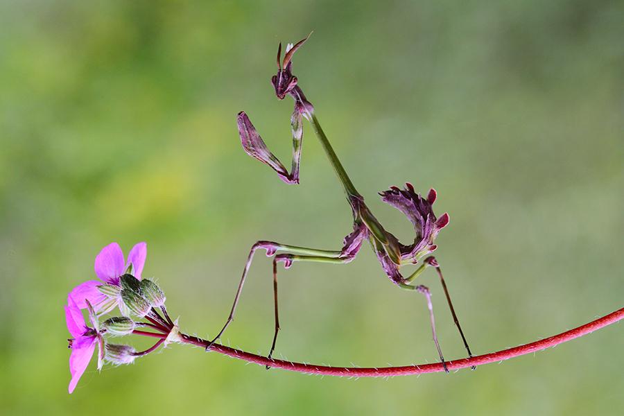 empusa fasciata_conehead mantis by lisans