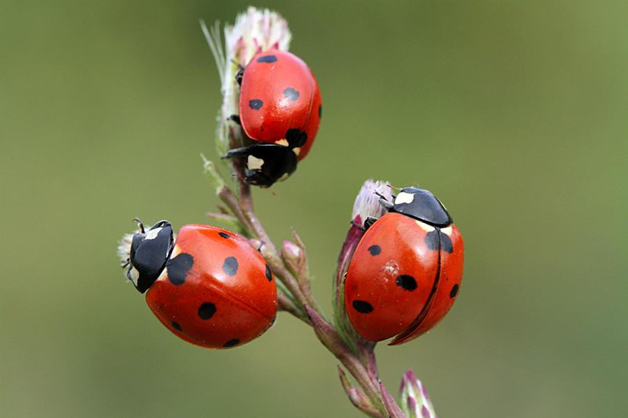 ladybird by lisans