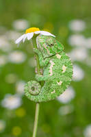 tiny chameleon by lisans