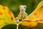 baby common chameleon